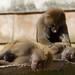 a short nap - Hamadryas baboon (Papio hamadryas) - Paignton Zoo, Devon - Sept 2019
