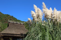 Little autumn (Teruhide Tomori) Tags: 京都 日本 南丹市 美山 茅葺き集落 田舎 秋 japan japon kyoto miyama roof tradition autumn countryside building architecture construction grass sky