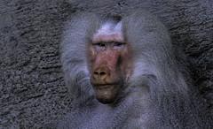 """eine tierische """"persönlichkeit"""" (Fritz Zachow) Tags: affe primaten tierpark hagenbeck hamburg tier"""