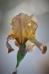 Bearded Iris (Steve Attwood) Tags: flower plant littleriver gardenflower iris beardediris