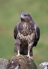 Common Buzzard (andywilson1963) Tags: buzzard wildlife nature birdofprey raptor scotland british woodland
