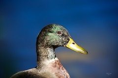 Pato (Carlos Santos - Alapraia) Tags: pato ngc flickrcentral ourplanet animalplanet canon nature natureza wonderfulworld highqualityanimals unlimitedphotos fantasticnature birdwatcher ave bird pássaro duckwater