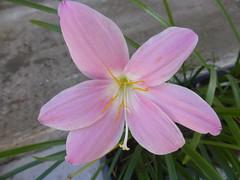 P1090511 (amalia_mar) Tags: flower flora fiori pink macro nature fleur closeup garden details colorfulnature pinkpurplewednesday zephyranthescarinata pinkrainlily