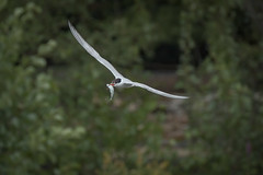 a tern with a fish (1/2) (Franck Zumella) Tags: bird wildlife tern sterne fish poisson fly flight flying voler green vert sky ciel fishing pecher white blanc animal