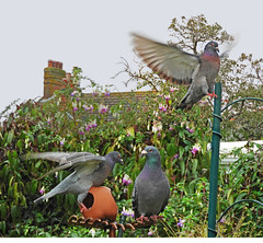 Wings:   5.11. 19. (VolVal) Tags: dorset bournemouth boscombe garden birds pigeons wings november