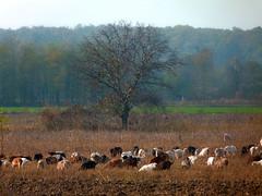 La păscut pe imaș (Dumby) Tags: landscape ilfov românia autumn fall rural nature colors outdoor