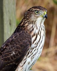 810_3543.jpg  Cooper's Hawk (laurie.mccarty) Tags: hawk coopershawk bird bokeh portrait animal raptor nature naturephotography nikon nikond810 wildlife