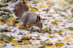 Squirrel quickly runs through the autumn park. (Berilyon) Tags: squirrel animal speed quick jump autumn cute tail fluffy red rodent background brown adorable creature curious forest fur mammal nature one outdoor park sciurus wild wildlife closeup run environment vulgaris beauty leaves small wood nautre portrait fall funny
