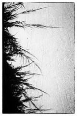 Hedge Shadows (lorinleecary) Tags: vegetation shadows hedge blackandwhite monochrome pavement morrobay