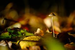 Small things matter (Sander van der Wel) Tags: zeiss touit paddestoel mushroom herfst autumn