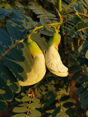 Sesbania grandiflora Desv Fabaceae Faboideae-Vegetable hummingbird, แคบ้าน 1 (SierraSunrise) Tags: thailand phonphisai nongkhai isaan esarn plants flowers white trees fabaceae faboideae edible