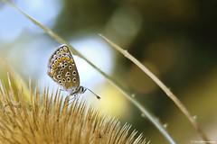 Collier de Corail (Clém VDB / Tiogris) Tags: papillon butterfly insect insecte nature macro argusbrun