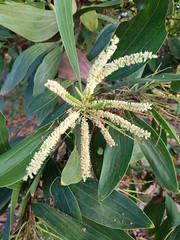 Acacia mangium Willd. Fabaceae Mimosoideae-Black Wattle, กระถินเทพา, กระถินซาบาห์ 2 (SierraSunrise) Tags: thailand phonphisai nongkhai isaan esarn plants flowers white acacia fabaceae trees mimosoideae invasive