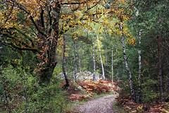 Autumn Path (hbensliman.free.fr) Tags: travel autumn nature forest france fontainebleau pentax pentaxart