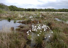 Bettisfield Moss (rockwolf) Tags: bettisfieldmoss cottongrass eriophorumsp linaigrette bog peatbog raisedbog shropshire sig shropshireinvertebrategroup rockwolf