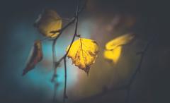Autumn leaves (Dhina A) Tags: sony a7rii ilce7rm2 a7r2 a7r kaleinar mc 100mm f28 kaleinar100mmf28 5n m42 nikonf russian ussr soviet 6blades manualfocus bokeh lens autumn leaf colors park garden