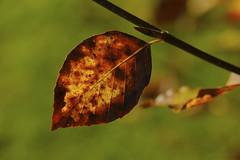 Swan Song (shawn~white) Tags: ©shawnwhite aged weathered fujifilmxt2 copper gold vivid red leaf beauty dramatic elegance harmonious reflective warmth nature autumn fujinonxf60mmf24macro closeup macro tree beech leaves branch