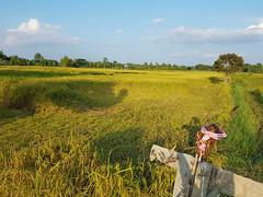 Lodging in rice paddies 1 (SierraSunrise) Tags: thailand phonphisai nongkhai isaan esarn plants frarming agriculture lodging rice ricepaddy ricepaddies paddyrice grain poaceae