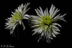Chrysanthème (letexierpatrick) Tags: chrysanthème fleur flower flowers fleurs floraison fondnoir nature botanique bouquet nikond7000 nikon noir black explore europe france