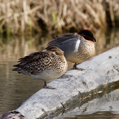 Female & Male Green-winged Teal (Photoski141) Tags: greenwingedteal anchorage alaska