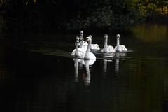 Basingstoke Canal Ash - Ash Vale 3 November 2019 037 (paul_appleyard) Tags: basingstoke canal ash vale surrey november 2019 swans swan family group reflection reflected