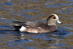11031974755asmweb (ecwillet) Tags: americanwigeon wigeon ducks boilingsprings nikon nikond500 nikon200500f56 ecwillet ericwillet