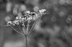 Autumn bokeh (Elisafox22) Tags: elisafox22 sony nex7 helios442 helios lomo madeinussr 258 8blade vintagelens hbw bokehwednesday hmbt monochromebokehthursday seedheads umbellifers umbelliferwednesday monochrome bw blackandwhite bokeh outdoors cowparsley fyvie woodlandwalk monochromethursday hmt aberdeenshire scotland elisaliddell©2019