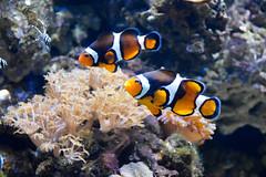 Clownfish (Amphiprioninae) (Seventh Heaven Photography - (Fauna)) Tags: clownfish clown fish amphiprioninae anemone anemonefish chester zoo cheshire england nikond3200 aquarium pomacentridae