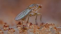Scheufliege (Heleomyzidae) und Kugelspringer (Dicyrtomina ornata) auf einem Perlpilz (Amanita rubescens) (AchimOWL) Tags: macro makro natur nature animals tiere gx80 dmcgx80 panasonic lumix postfocusstack stacking insekt insect springtail kugelspringer collembola outdoor schärfentiefe ngc macrodreams tier fauna heliconfocus pilz fly scheufliege brachycera olympus muscomorpha sphaeroceroidea herbst bielefeld rötenderwulstling fleischchampignon perlpilz wulstling amanita wulstlingsverwandte amanitaceae champignonartige agaricales agaricomycetidae agaricomycetes