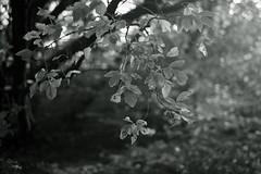 autumn light@walking path (Amselchen) Tags: xe1 xf35mmf14r dof bokeh bw mono fujifilm fujinon fujifilmxseries monochrome blackandwhite light nature season autumn