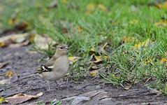 Female chaffinch. (wurzel.pete.4 Million views,Ta!) Tags: 61119 female chaffinch bird uk surrey