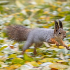 Squirrel quickly runs through the autumn park. (Berilyon) Tags: autumn cute animal speed jump squirrel quick red brown nature forest fur mammal one rodent outdoor background tail adorable fluffy curious creature park wood wild portrait fall beauty leaves closeup funny wildlife small run environment nautre vulgaris sciurus