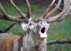 The Call... (M.L Photographie) Tags: nature animal cervus cerf elaphus elaphe stag deer denmark danemark dyrehaven nikon p900 coolpix