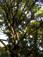 Scots Pine (Durley Beachbum) Tags: odc tree scotspine bournemouth november topaz