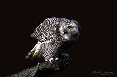 Snowy (Susan Newgewirtz) Tags: nikond850 raptor snowyowl ontario wildlifephotography nature birdsofprey birds