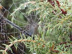 missing sector orbweb cf Zygiella atrica araneidae (BSCG (Badenoch and Strathspey Conservation Group)) Tags: nbb970 arachnid spider araneidae web zygiella dew november juniper