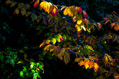 Painting with Autumn Light (Colormaniac too - Many thanks for your visits!) Tags: autumnleaves autumncolor afternoonlight lightintheleaves october octoberlight witchhazelleaves autumn garden colorful outdoors netartll topazstudio hss pacificnorthwest