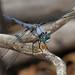 Great Blue Skimmer - Libellula vibrans, Glendening Nature Preserve, Lothian, Maryland