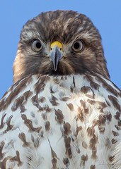 Red-tailed Hawk...curios and confused (flintframer) Tags: redtailed hawk indiana raptors portrait stare dattilo nature wildlife wow canon eos 5d mark iv ef600mm