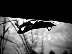 Reverse Mantis (Z_marukun) Tags: mantis mantide mantidereligiosa カマキリ insect entomology prayingmantis nikonp900 coolpix coolpixp900