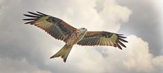 Red Kite 1S9A4605 (saundersfay) Tags: redkite predator raptor raining cloudy bird
