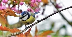Mésange bleue (Bushcraft.Eure) Tags: mésange bleue cyanistes caeruleus mésangebleue cyanistescaeruleus wood tree wildlife pelouse oiseau eure normandie valleedeleure normandy green oss nature sony sonya6000 sonye epz18105mmf4goss 18105mm animal oiseaux bird prunus serrulata cerisier du japon prunusserrulata cerisierdujapon sakura blue pink bluetit tit bluechickadee chickadee printemps spring sel18105g ilce6000