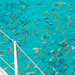 Sergeant fish and other coral fish aboard a sailing cruise yacht