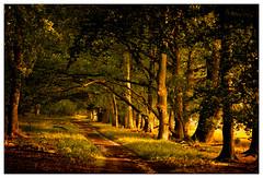 Allee über dem Totengrund (frodul) Tags: natur grün landschaft wald baum heide allee niedersachsen deutschland bispingen heath forest avenue landscape tree