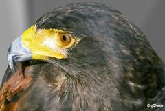 Aquilotto Reale (danilocolombo69) Tags: eagle aquila reale royal danilocolombo danilocolombo69 nikonclubit asbeautifulasyouwant