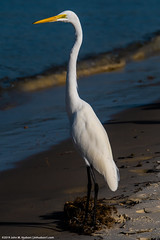 2019.10.30.8087 Great Egret (Brunswick Forge) Tags: 2019 florida grouped day sunny air sky clear staugustine autumn nikond500 nikkor200500mm animalportraits matanzasinlet water river pictureoftheday nature wildlife animal animals bird birds egret greategret favorited commented