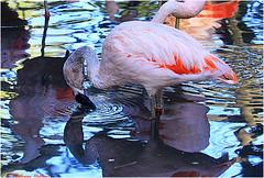 Flamant du Chili © Clères  76 (philippedaniele) Tags: parcdeclères clères seinemartime parczoologique oiseaux flamants flamantrose migration philippe helloin