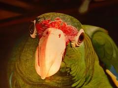 The Parrot Club (brucecarlson66) Tags: parrot club café bird painting close up closeup old san juan puerto rico red green eye beak feathers intense curious hello cuisine food restaurant delicious calle de la fortaleza nuevo latino bistro bar sofo