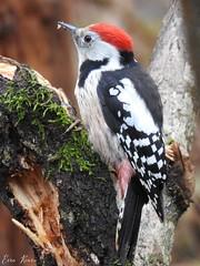Middle Spotted Woodpecker (Leiopicus medius) (eerokiuru) Tags: middlespottedwoodpecker leiopicusmedius mittelspecht dzięciołśredni picmar picchiorossomezzano среднийпёстрыйдятел tammekirjurähn nikoncoolpixp900 p900 bird wildlife nature birding vogel eesti estonia