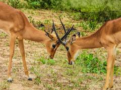 PLAY TIME! (eliewolfphotography) Tags: impala impalas animals africa african nature naturelovers nikon naturephotography natgeo naturephotographer natgeowild tanzania travel tarangire serengeti arusha antelope conservation conservationphotography youth wildlife wildlifephotographer wildlifephotography